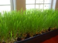 Fun with Wheat Grass...