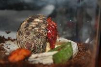 Hermit Crabs: Introducing Baby...
