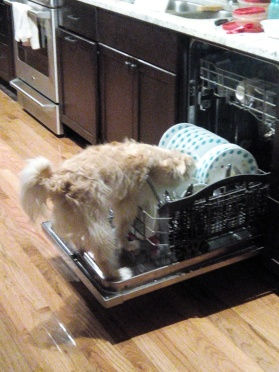 Biscuit testing out the dishwasher door
